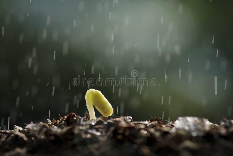 Betriebswachstum vom Samen mit dem Regnen lizenzfreie stockbilder
