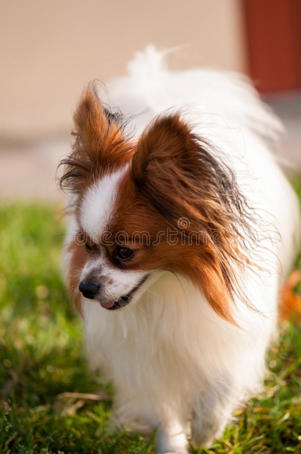 Betroffener papillon Hund, der auf das Gras geht lizenzfreie stockfotografie