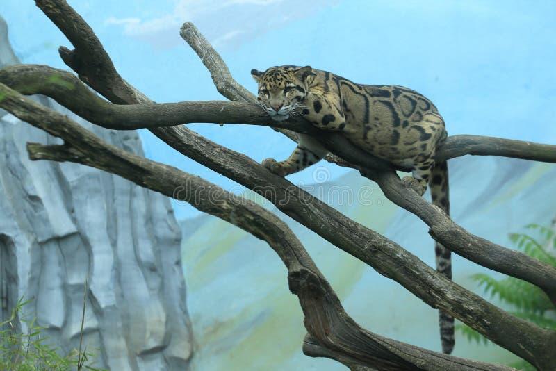 Betrokken luipaard royalty-vrije stock foto