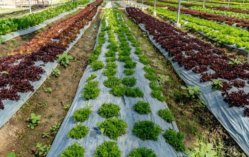 Bett des grünen Gemüses stockfotos