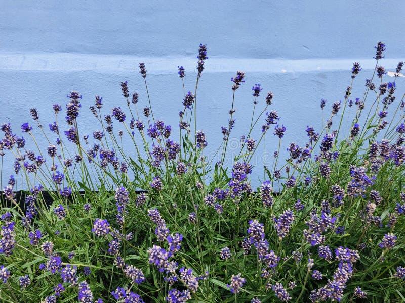 Bett des Lavendels vor einer bunten Fassade lizenzfreies stockfoto