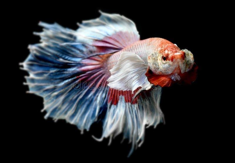 Betta或Saimese战斗的鱼 图库摄影