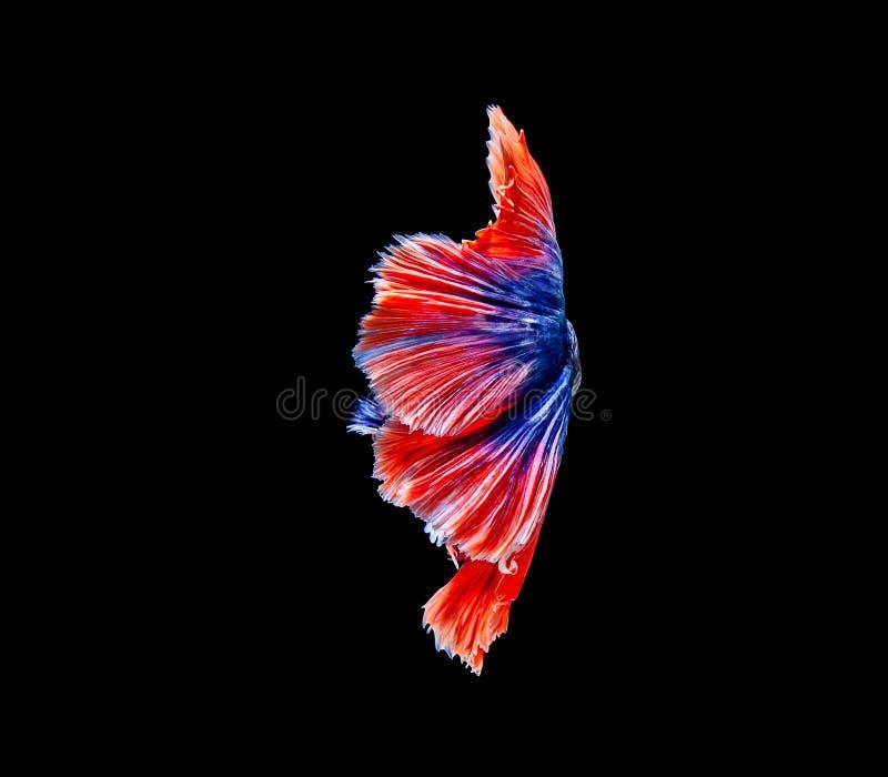 Betta鱼,暹罗战斗的鱼,在黑背景隔绝的betta splendens 免版税库存图片