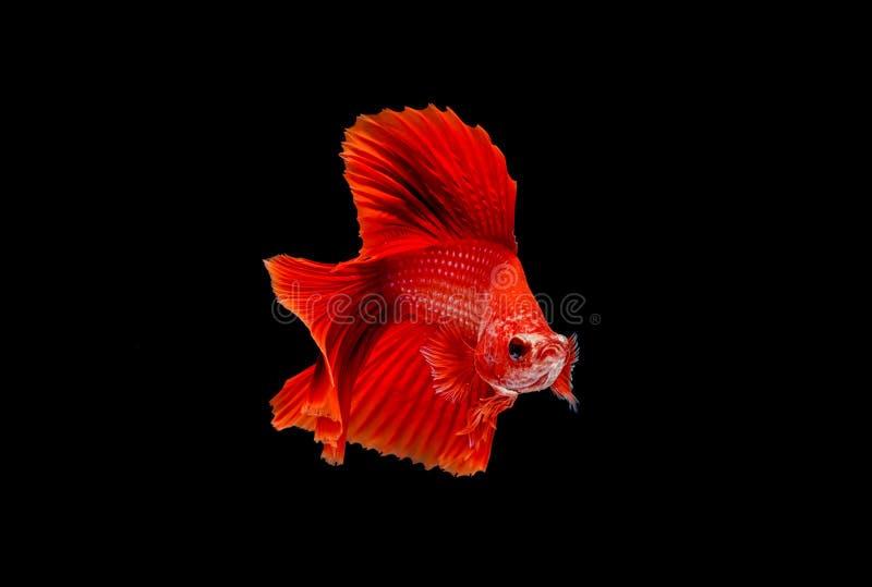 Betta鱼,暹罗战斗的鱼 库存照片
