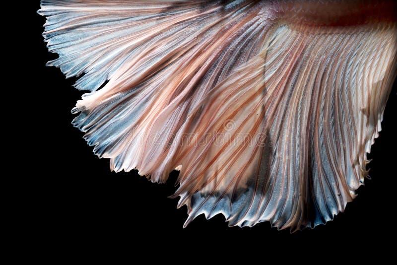 Betta鱼移动的鱼尾巴抽象艺术  库存照片