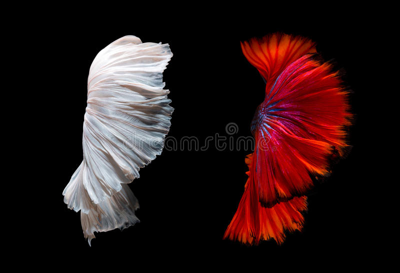 Betta鱼移动的鱼尾巴抽象艺术  库存图片