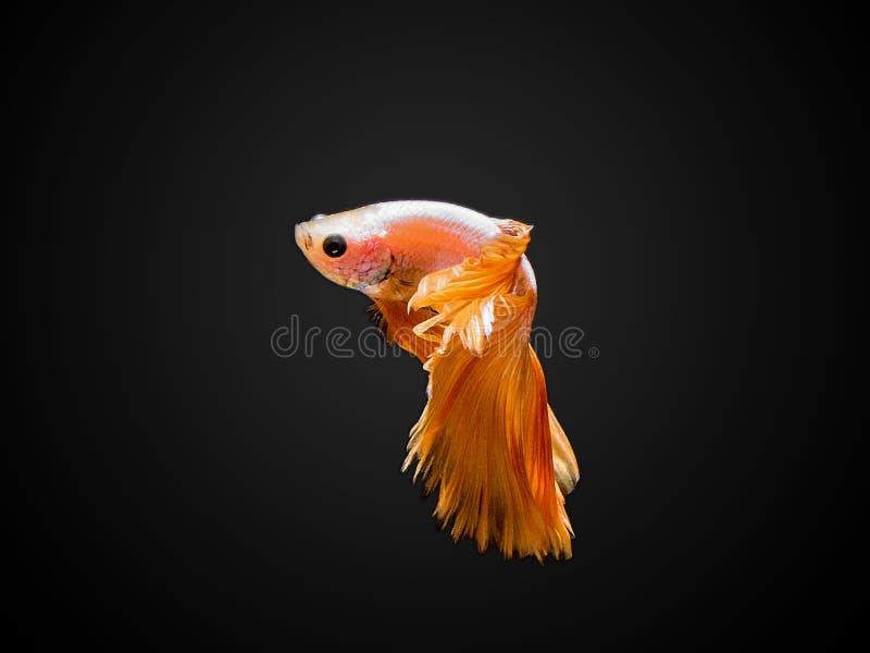 Betta鱼 免版税库存照片