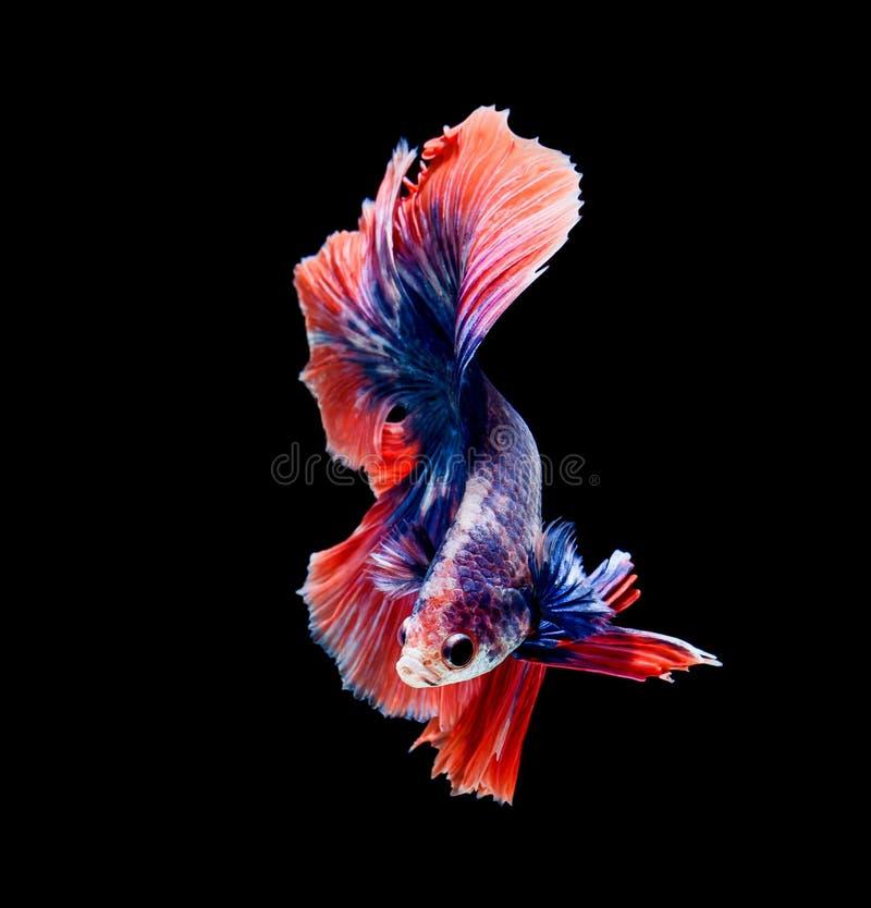 Betta łowi, siamese bój ryba, betta splendens odizolowywający na czarnym tle zdjęcia royalty free