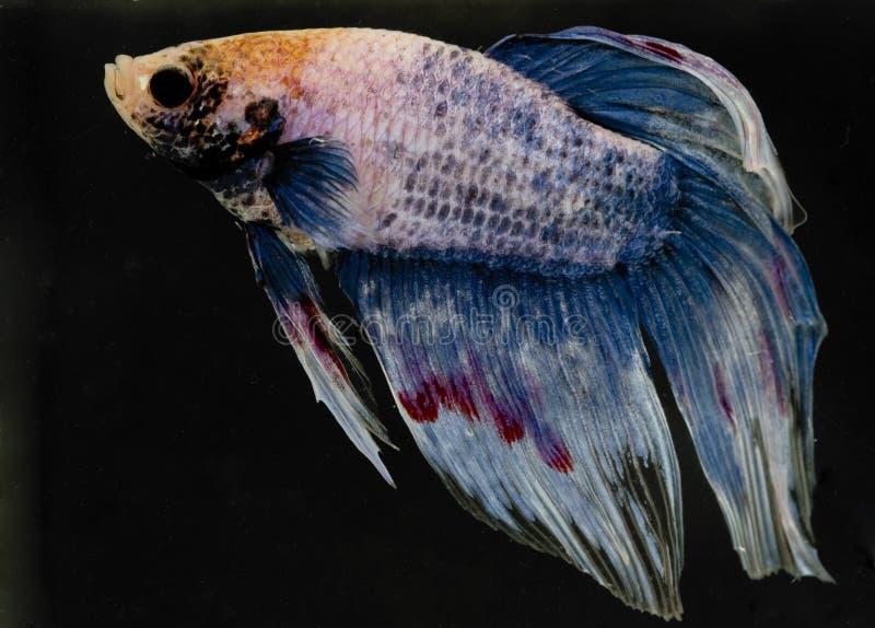 Download Betta stock photo. Image of fresh, ocean, animal, river - 6318626