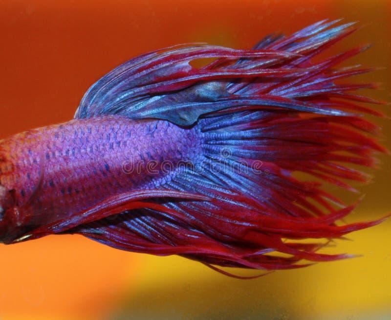 betta błękit ryba czerwień zdjęcia stock