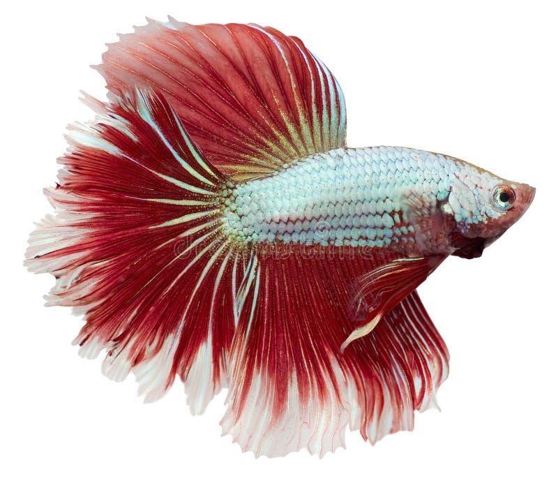 betta boju ryba splendens obraz stock