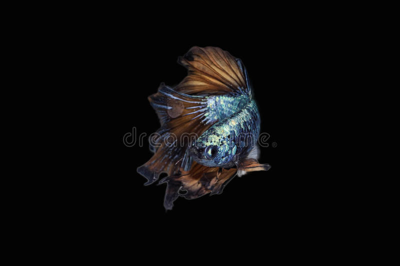 Betta stock images
