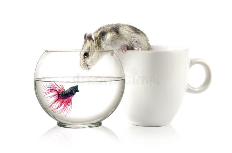 Betta dans la cuvette et le hamster photos libres de droits