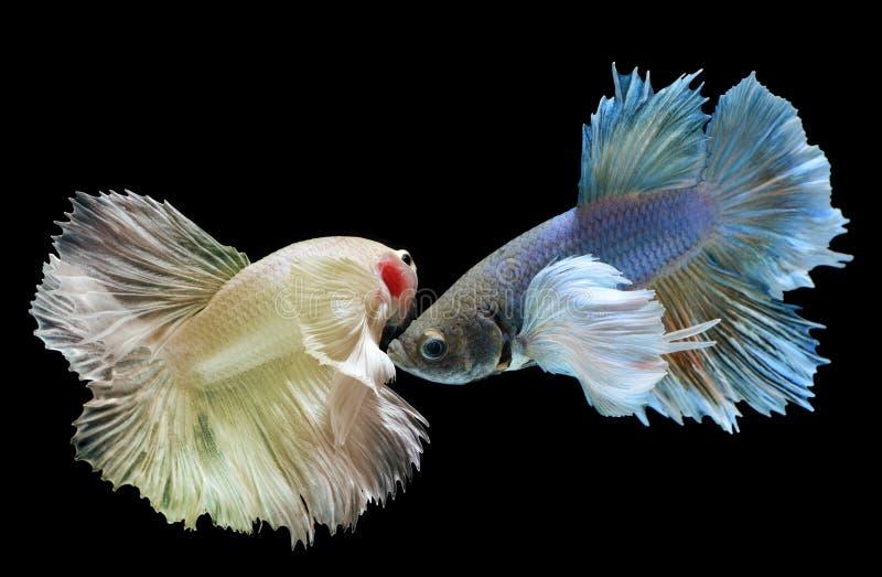 Betta eller Saimese stridighetfisk royaltyfri fotografi