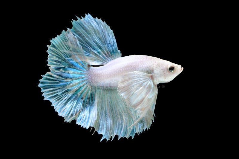 Betta eller Saimese stridighetfisk royaltyfri foto