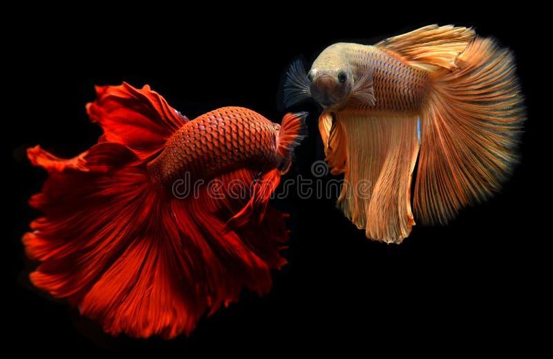 Betta eller Saimese stridighetfisk arkivbilder