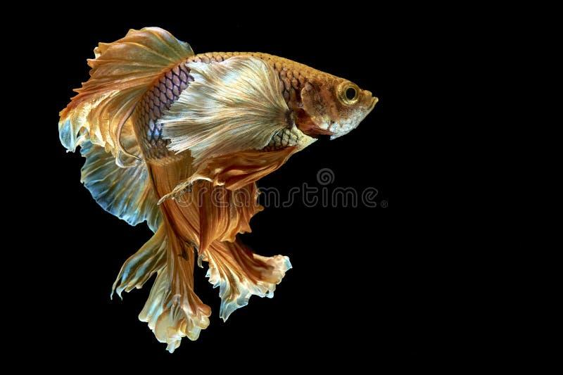 Betta Fische lizenzfreie stockbilder