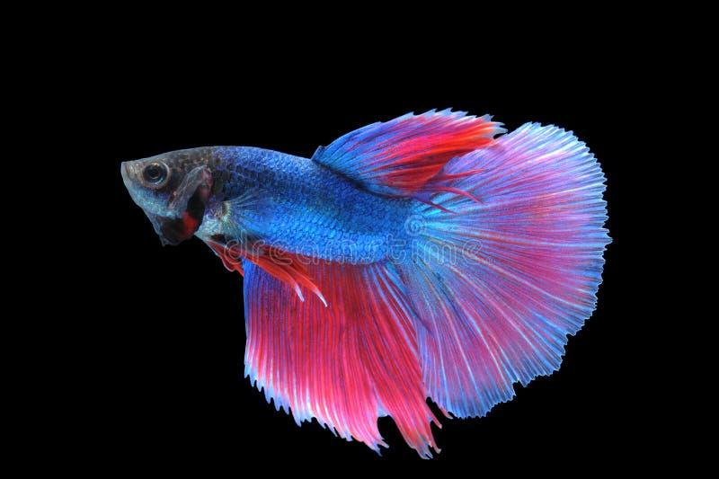 Betta-Fische (Halbmond) oder Siamesischer Kampffisch lizenzfreies stockfoto
