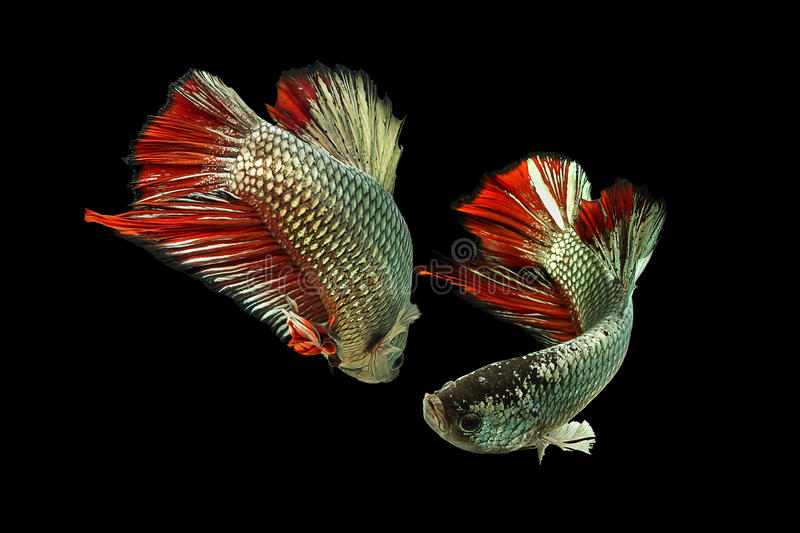 Betta-Fische Kupfer-rot stockfotos