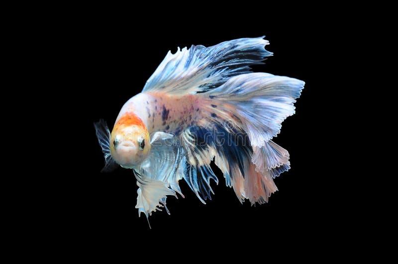 Betta-Fische, siamesische kämpfende Fische, betta splendens lokalisiert auf schwarzem Hintergrund, Fisch auf schwarzem Hintergrun stockfotos