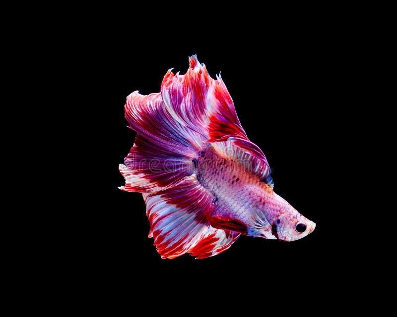 Betta-Fische, siamesische kämpfende Fische, betta splendens lokalisiert auf schwarzem Hintergrund lizenzfreie stockbilder