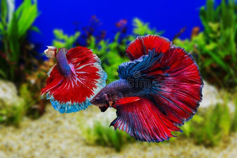 Betta-Fische Siamesischer Kampffisch mit Grünpflanzen lizenzfreies stockbild