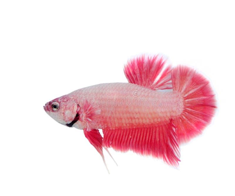Betta Fish. Red betta fish on white backgrounder royalty free stock photo