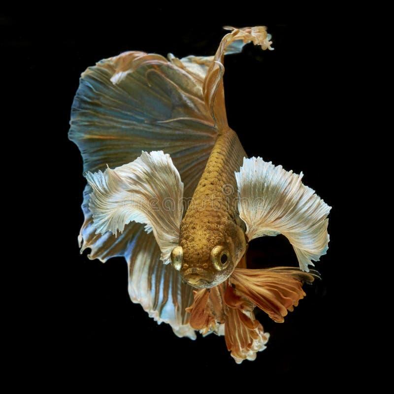 Free Betta Fish Stock Photography - 78451332