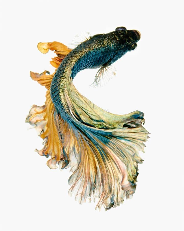 Free Betta Fish Royalty Free Stock Photos - 99150758
