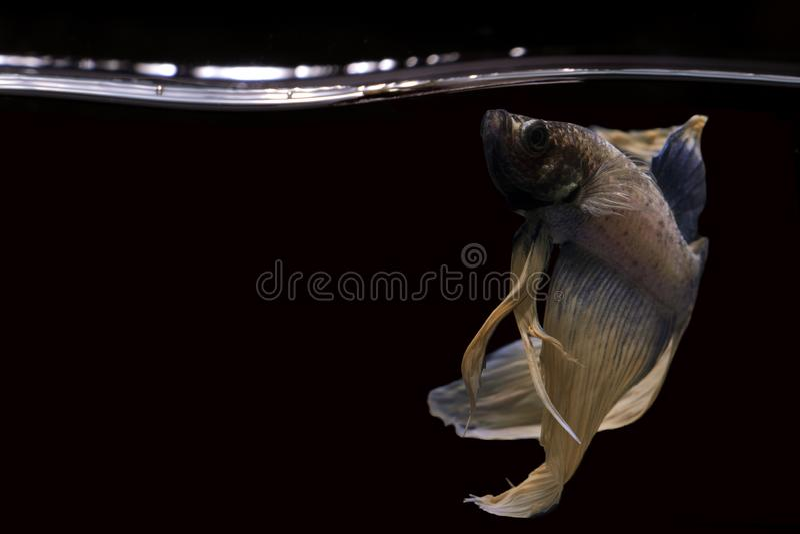 Betta fish, Betta fish on the water, betta splendens isolated on black backgroun. Betta, fish, siamese, fighting, halfmoon, isolated, bl, red, flower, nature royalty free stock photos