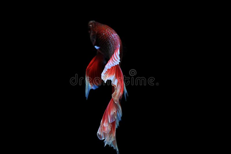 Capture The Moving Moment Of Siamese Fighting Fish Isolated On B ...