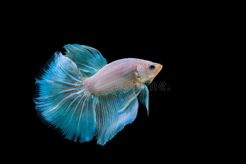 Betta. Fish on the black background stock photography