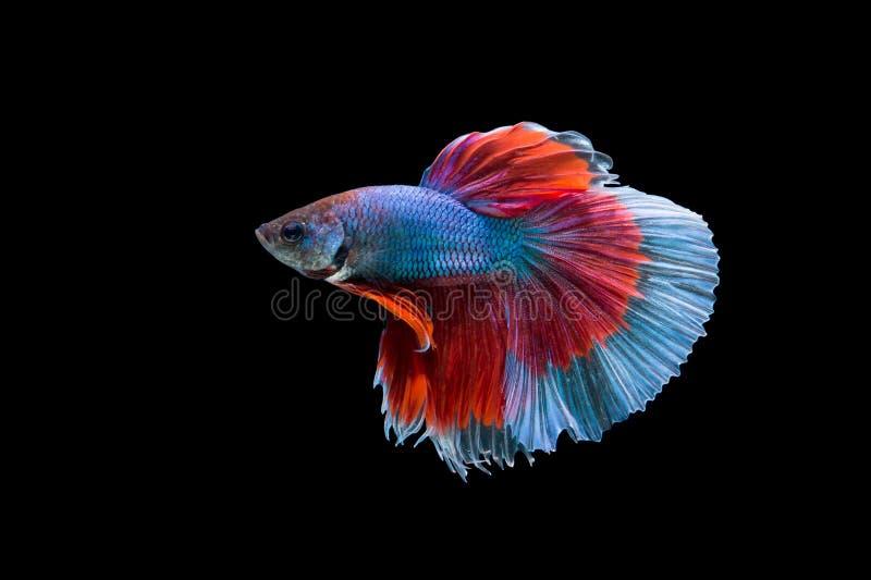 Betta. Fish on the black background stock photo