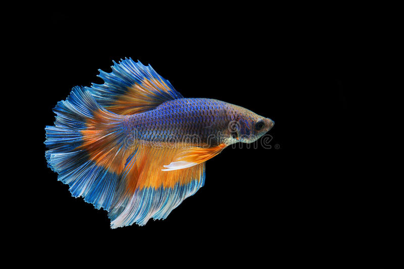 Betta. Fish on black background stock images