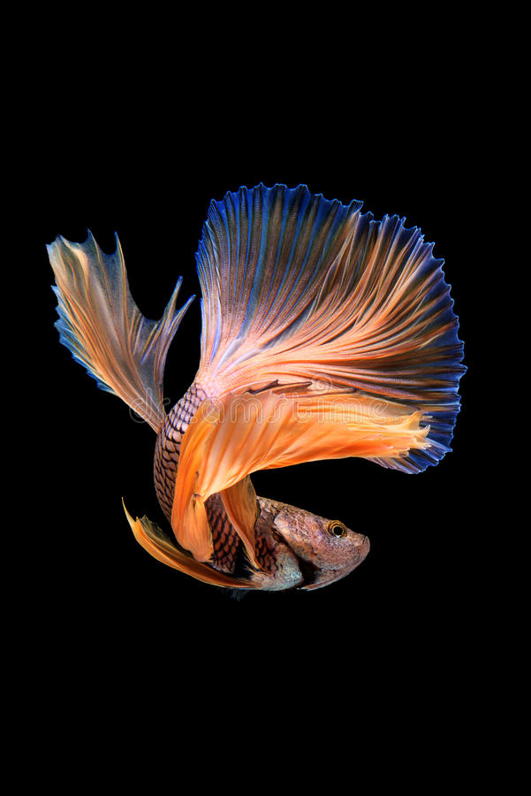 Betta. Fish on black background royalty free stock images