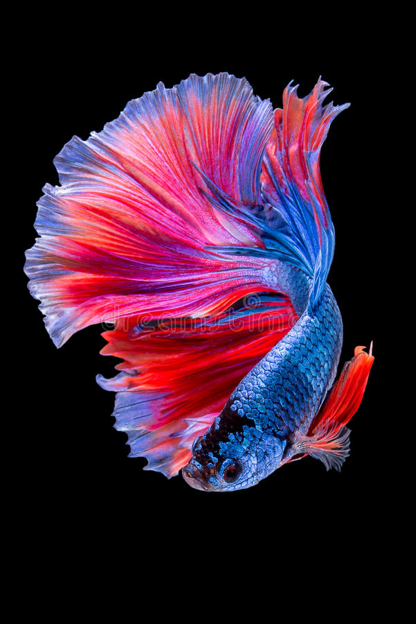 Betta stock photography