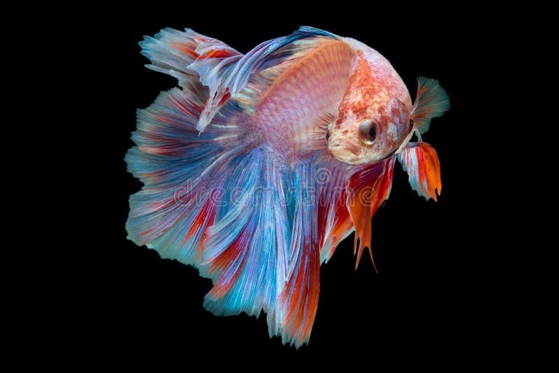Betta. Fish on black background royalty free stock image