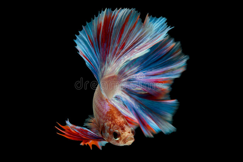 Betta. Fish on black background stock image