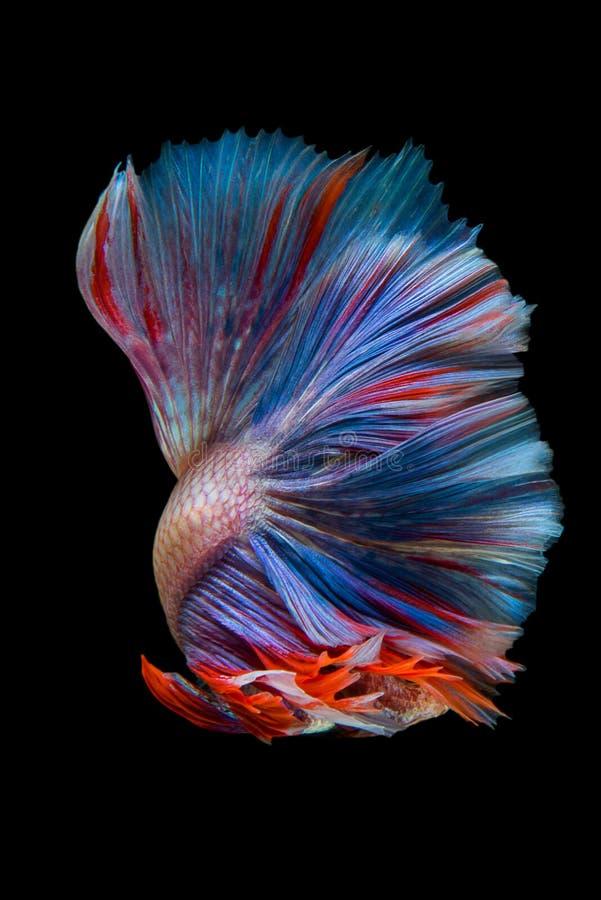 Betta. Fish on black background stock photo