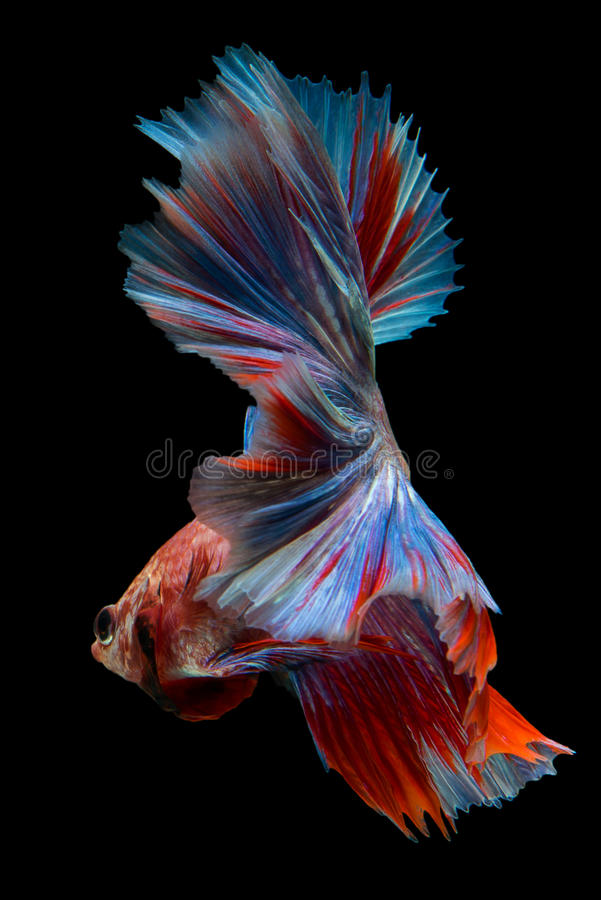 Betta stock image