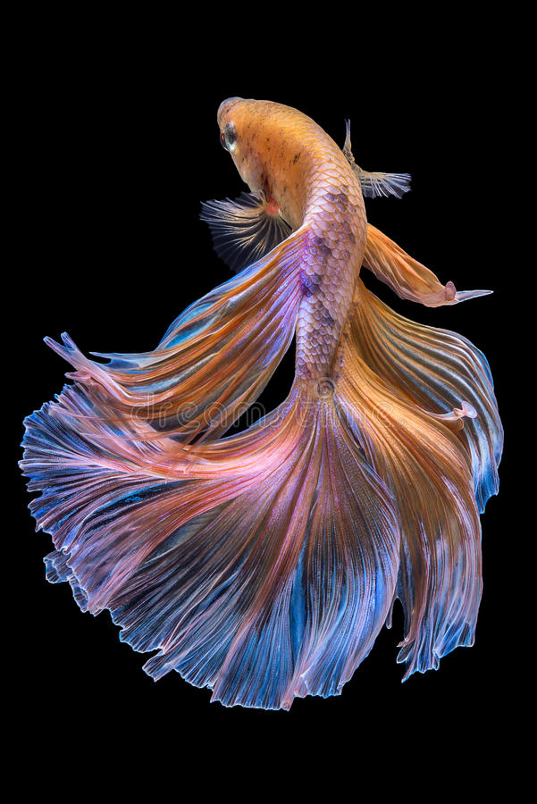 Betta. Fish on black background royalty free stock photography