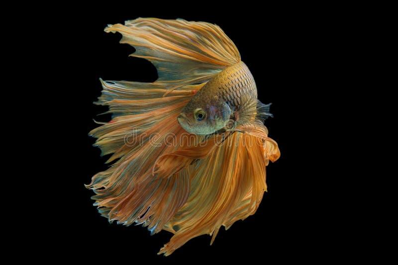 Betta. Fish on black background royalty free stock photos