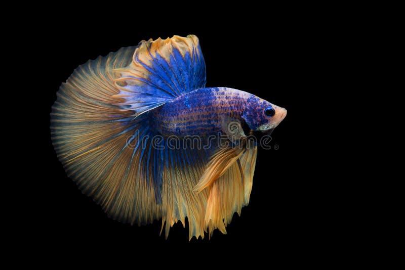 Betta. Fish on black background royalty free stock photo