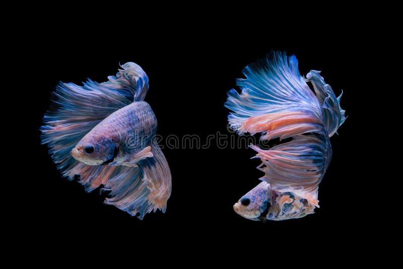 Betta. Fish on black background stock photography