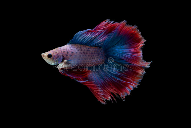 Betta. Fish on black background royalty free stock image