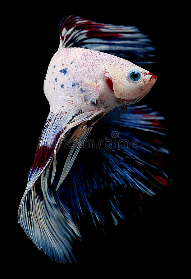 Betta Fish on a black background stock photography