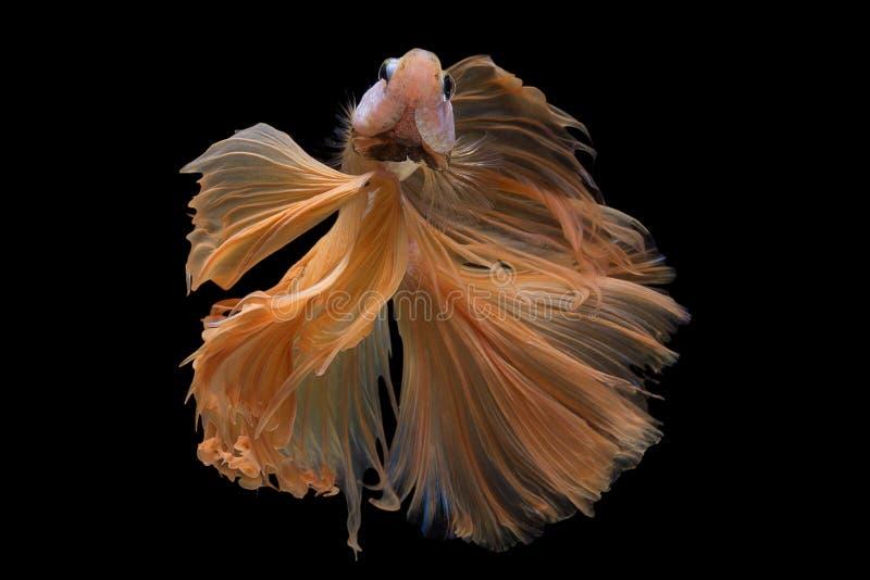 Betta Fish stock images