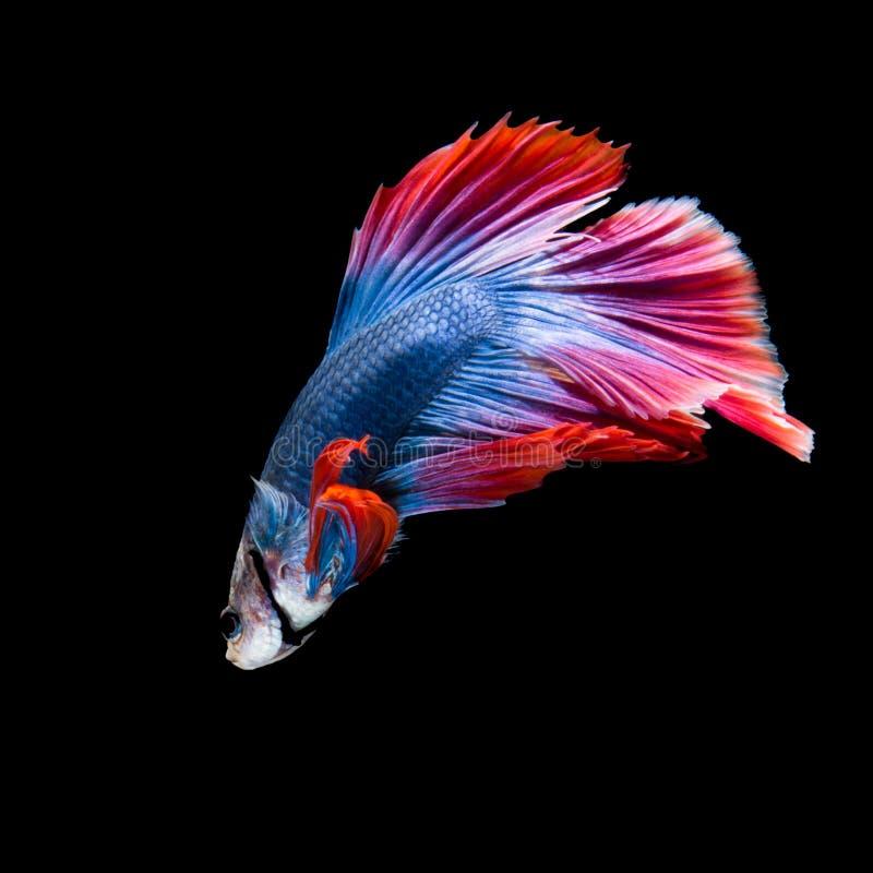 Betta fish on black royalty free stock photos
