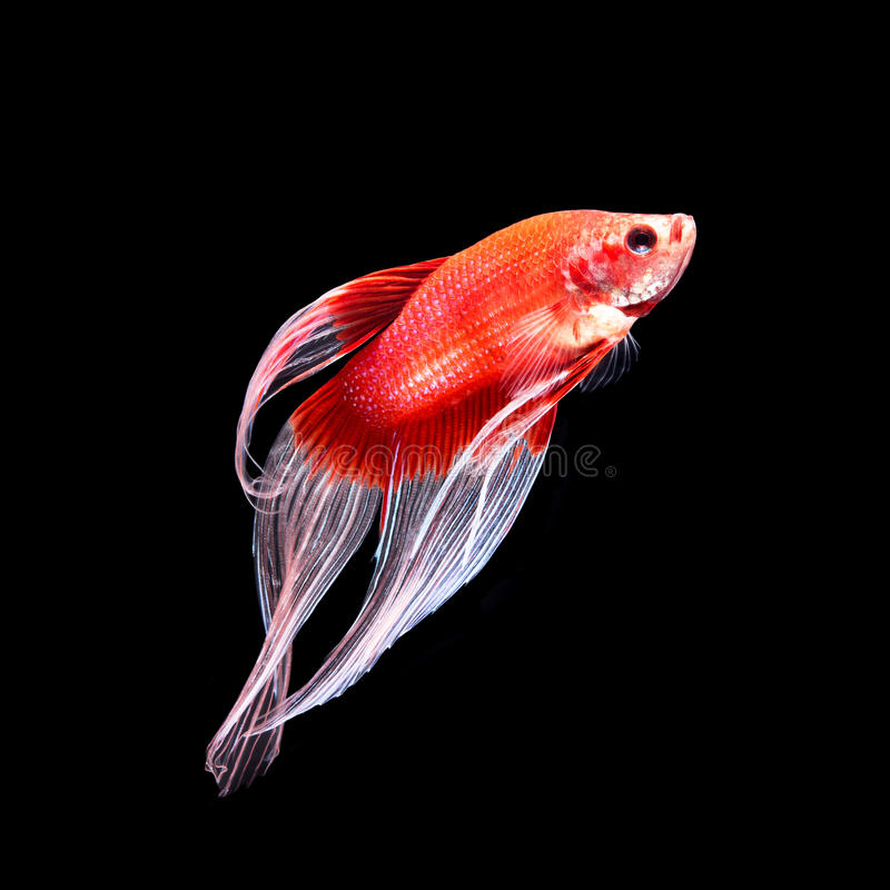 Betta fish on black royalty free stock photography