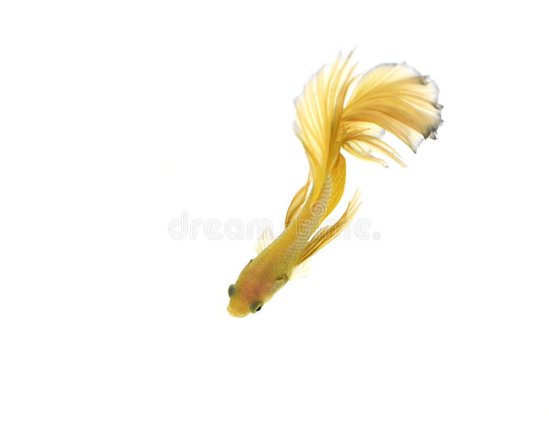Betta fish. Capture the moving moment of white siamese fighting fish isolated on white background. Betta fish royalty free stock images